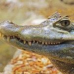 zwierze na a - aligator