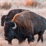 zwierze na b - bizon