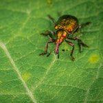 zwierzę na c - chrząszcz