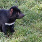 zwierzę na d - diabeł tasmański