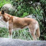 zwierzę na d - dingo