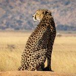 zwierzę na g - gepard