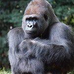 zwierzę na g - goryl
