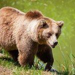 zwierzę na g - grizly