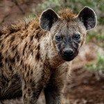 zwierzę na h - hiena centkowana