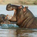 zwierzę na h - hipopotam