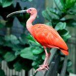 zwierzę na i - ibis