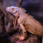 zwierzę na i - iguana