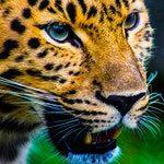 zwierzę na j - jaguar