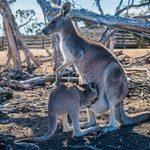 zwierzę na k - kangur