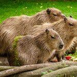 zwierzę na k - kapibara