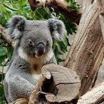 zwierzę na k - koala