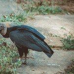 zwierzę na k - kondor