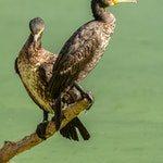 zwierzę na k - kormoran