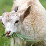 zwierzę na k - koza domowa