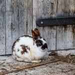 zwierzę na k - królik