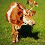 zwierzę na k - krowa