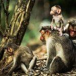zwierzę na m - małpa