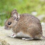 zwierzę na m - mysz