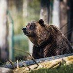 zwierzę na n - Niedźwiedź