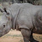 zwierzę na n - nosorożec