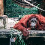 zwierzę na o - orangutan