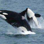 zwierzę na o - orka oceaniczna