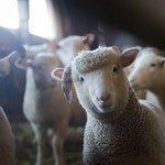 zwierzę na o - owca domowa