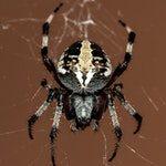 zwierzę na p - pająk