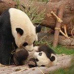 zwierzę na p - panda