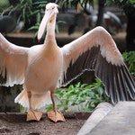 zwierzę na p - pelikan