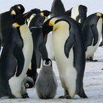 zwierzę na p - pingwin