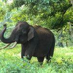 zwierzę na s - słoń