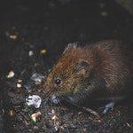 zwierzę na s - szczur