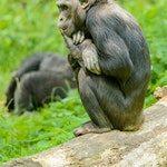 zwierzę na s - szympans