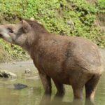zwierzę na t - tapir
