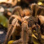zwierzę na t - tarantula