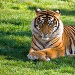 zwierzę na t - tygrys