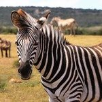 zwierzę na z - zebra