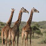 zwierzę na ż - żyrafa