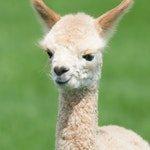 zwierzę na l - lama andyjska