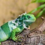 zwierzę na l - legwan zielony