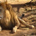 zwierzę na l - lew