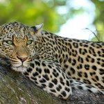 zwierzę na l - leopard