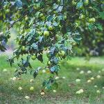 owoc na a antonówka