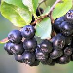 owoc na a aronia