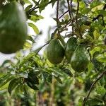 owoc na a awokado