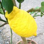 owoc na c cytron
