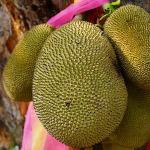 owoc na d dżakfrut