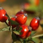 owoc na d dzika róża